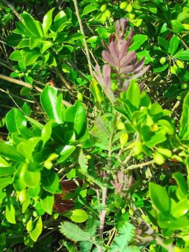 Acacia baileyana 'Purpurea' - Mimosaboom