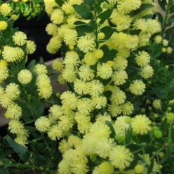 Acacia paradoxa  - Mimosaboom