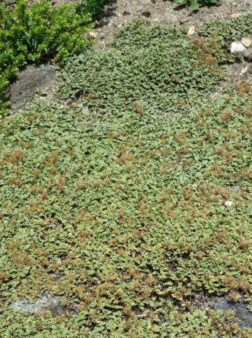 Acaena magellanica  - Stekelnootje