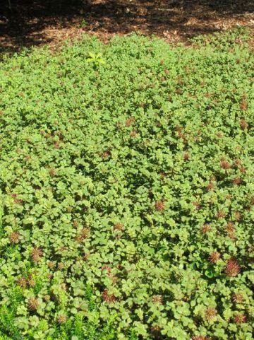 Acaena microphylla - Stekelnootje