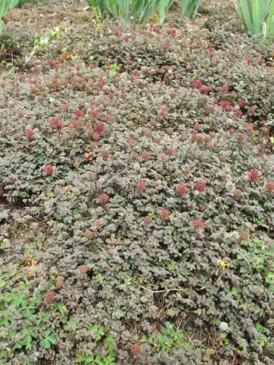 Acaena Microphylla Kupferteppich Stekelnootje De Tuinen Van