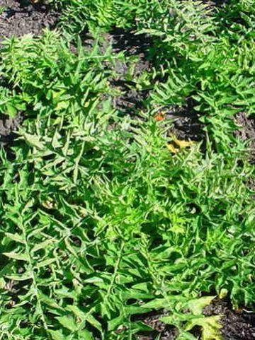 Acanthus mollis 'Latifolius' -