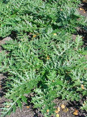 Acanthus spinosus  -