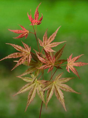 Acer × conspicuum 'Phoenix' - Slangehuid-esdoorn