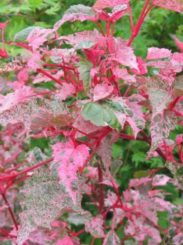 Acer × conspicuum 'Red Flamingo' - Slangenhuid-esdoorn