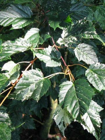 Acer × conspicuum 'Silver Cardinal' - Slangenhuid-esdoorn