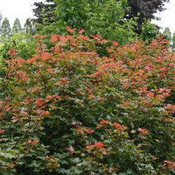 Acer  'Ample Surprise' - Esdoorn