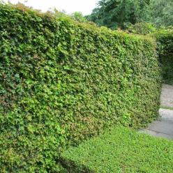 Acer campestre  - Spaanse aak , Veldesdoorn