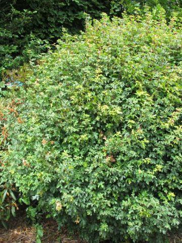 Acer campestre 'Nanum' - Dwerg-spaanse aak