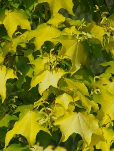 Acer cappadocicum 'Aureum' - Kolchische esdoorn