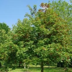 Acer cappadocicum subsp. sinicum  - Kolchische esdoorn