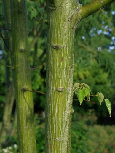Acer davidii  - Slangehuid-esdoorn , Esdoorn