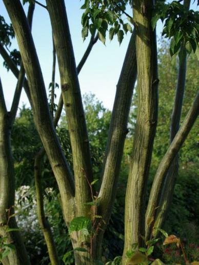 Acer davidii 'Rosalie' - Slangehuid-esdoorn , Esdoorn