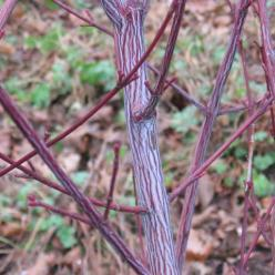 Acer davidii 'Serpentine' - Slangehuid-esdoorn