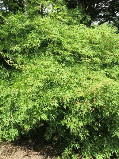 Acer Japonicum Green Cascade Japanse Esdoorn Esdoorn De