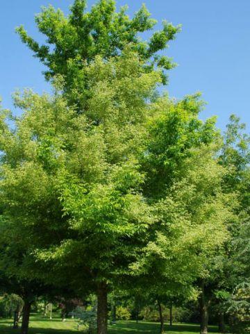 Acer negundo 'Aureomarginatum' - Geelbonte vederesdoorn , Vederesdoorn