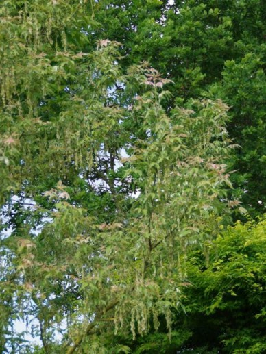 Acer negundo 'Flamingo' - Bonte vederesdoorn