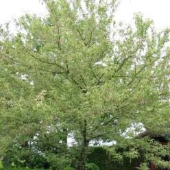Acer negundo 'Variegatum' - Bonte vederesdoorn