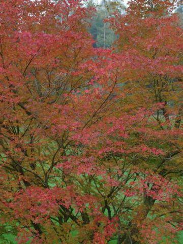 Acer palmatum - Japanse esdoorn