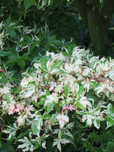 Acer palmatum 'Asahi zuru' - Japanse esdoorn