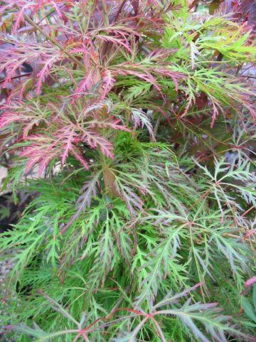 Acer palmatum 'Baldsmith' - Japanse esdoorn