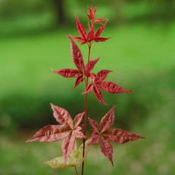 Acer palmatum 'Beni maiko' - Japanse esdoorn