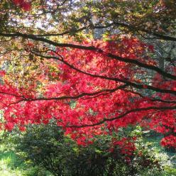 Acer palmatum 'Bloodgood' - Japanse esdoorn