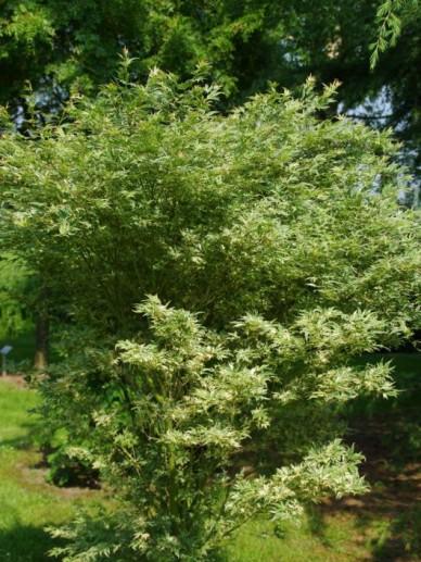 Acer palmatum 'Butterfly' - Japanse esdoorn