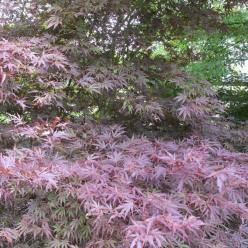 Acer palmatum 'Chitoseyama' - Japanse esdoorn
