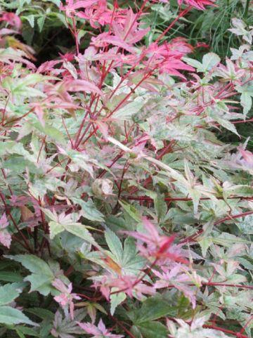 Acer palmatum 'Corallinum' - Japanse esdoorn