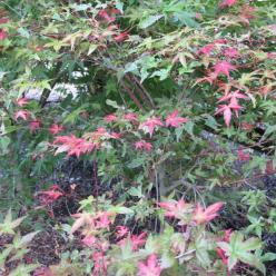 Acer palmatum 'Deshojo' - Japanse esdoorn