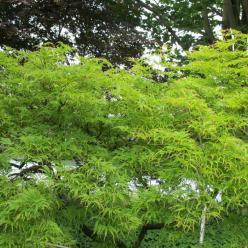 Acer palmatum 'Filigree' - Japanse esdoorn