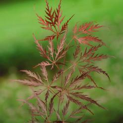 Acer palmatum 'Garnet' - Japanse esdoorn
