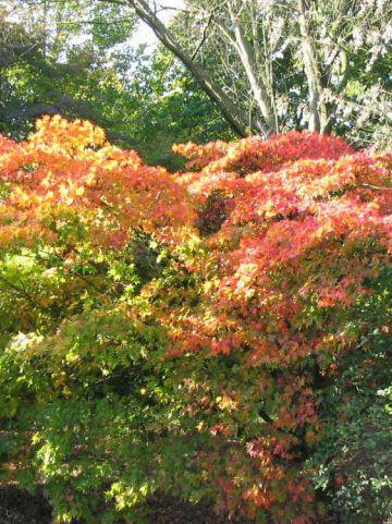 Acer palmatum 'Heptalobum' - Japanse esdoorn