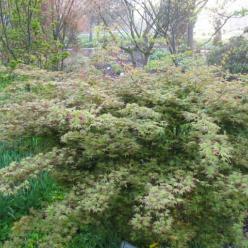 Acer palmatum 'Katsura' - Japanse esdoorn