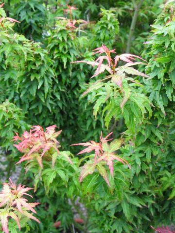 Acer palmatum 'Koto hime' - Japanse esdoorn