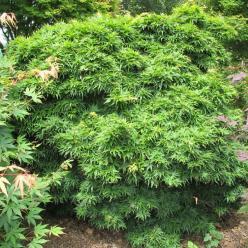 Acer palmatum 'Mikawa yatsubusa' - Japanse dwergesdoorn , Japanse esdoorn
