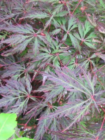 Acer palmatum 'Orangeola' - Japanse esdoorn