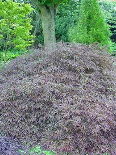 Acer palmatum 'Ornatum' - Japanse esdoorn