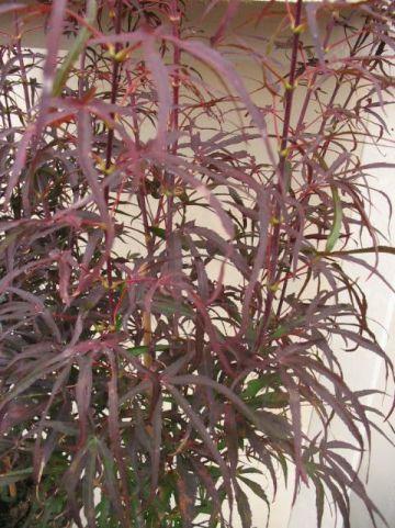 Acer palmatum 'Pevé Dave' - Japanse esdoorn