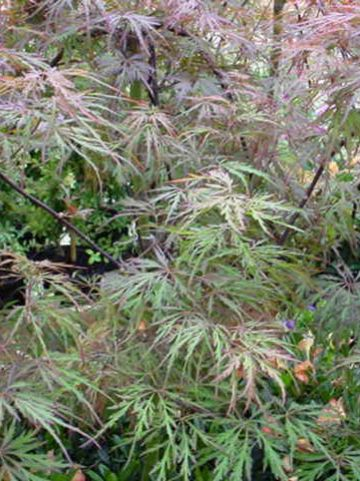 Acer palmatum 'Red Dragon' - Japanse esdoorn