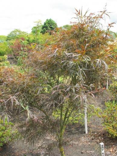 Acer palmatum 'Red Pygmy' - Japanse esdoorn