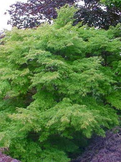 Acer palmatum 'Seiryu' - Japanse esdoorn