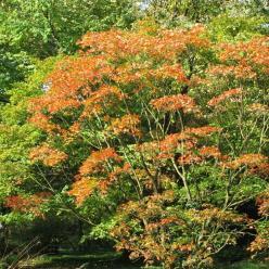 Acer palmatum 'Shigitatsu sawa' - Japanse esdoorn