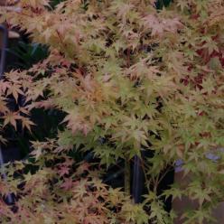 Acer palmatum 'Shin Nyo' - Japanse esdoorn