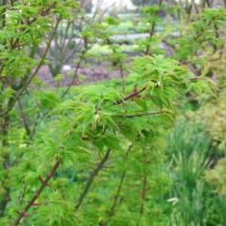 Acer palmatum 'Shishagashira' - Japanse esdoorn