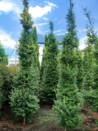 Acer palmatum 'Tsukasa Silhouette' (='Silhouette') - Japanse esdoorn