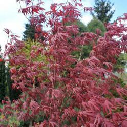 Acer palmatum 'Peve Starfish' (='Starfish') - Japanse esdoorn