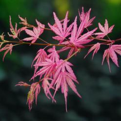 Acer palmatum 'Taylor' - Japanse esdoorn