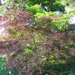 Acer palmatum 'Trompenburg' - Japanse esdoorn
